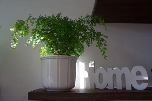 namai,namie,jaustis lengvai,sėkmė,namai namučiai,deko,apdaila,tėvai namuose,medinis ženklas,laimingas,Nuotolinis,papartis,augalas,dekoratyvinis augalas,žalias,gamta,lapai,lapų papartis,filigranas,uždaras papartis,paparčio augalas