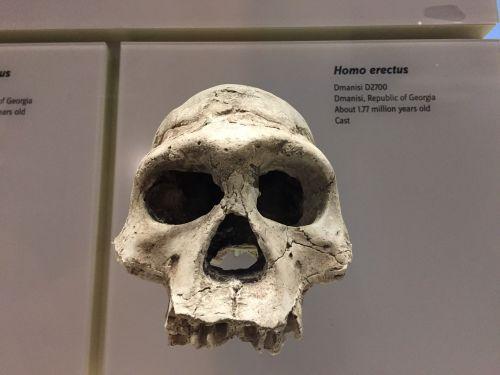 homo erectus skull ancestor