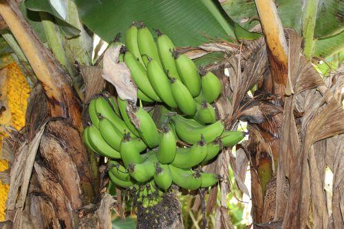 honduras green bananas bananas