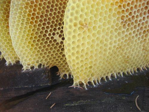 honey honeycomb bees