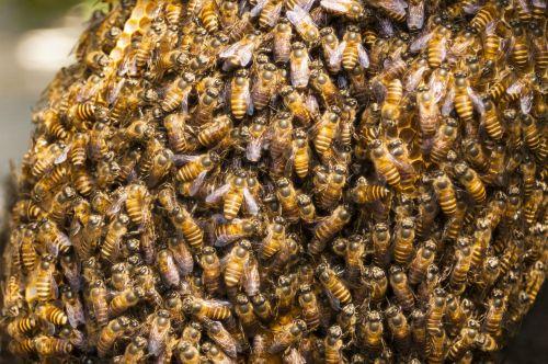 honey bee hive bee