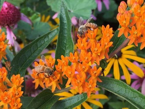 honey bees milkweed