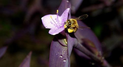 honey bee iran