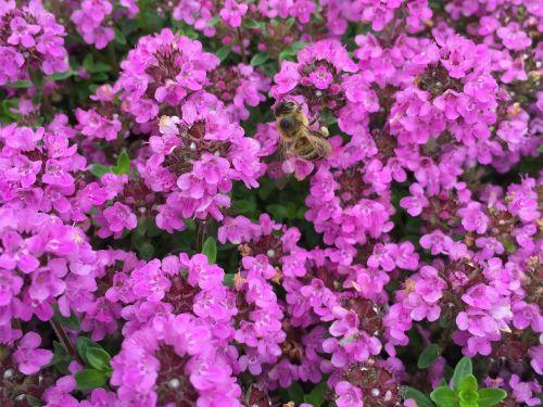 medaus BITĖ,gėlės gėlės,pavasaris,gamta,vabzdys,Uždaryti,bičių,žiedadulkės,žiedas,žydėti,apdulkinimas,gėlė