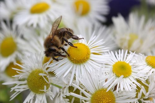 honey bee apis insect