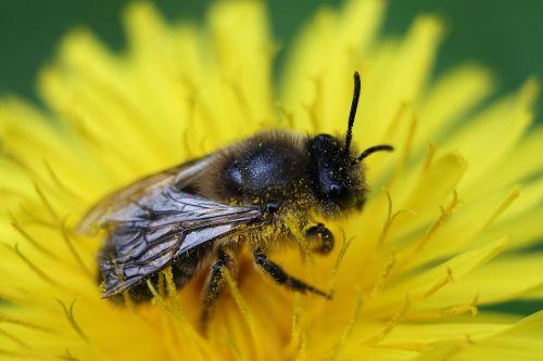 honey bee bee macro