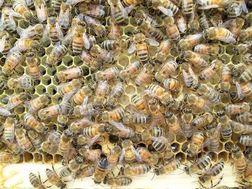 honey bee  larvae  frame