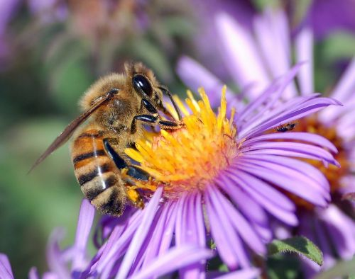 honey bee bee insect