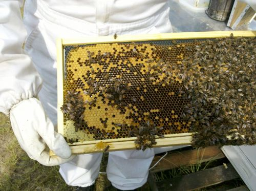 honey bee bee hive inspections apiary