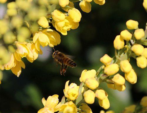 honey bee flying yellow flowers