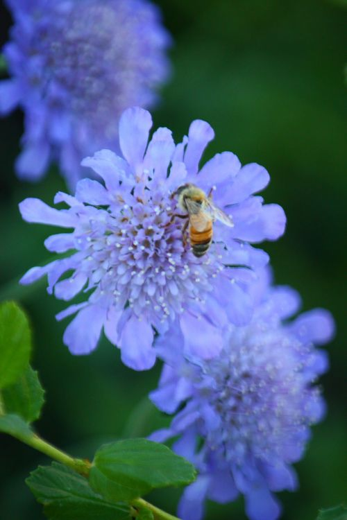 Honey Bee On A Pinchushion Flower