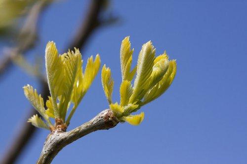 honey locust  gleditsia triacanthos  three thorny gledischie