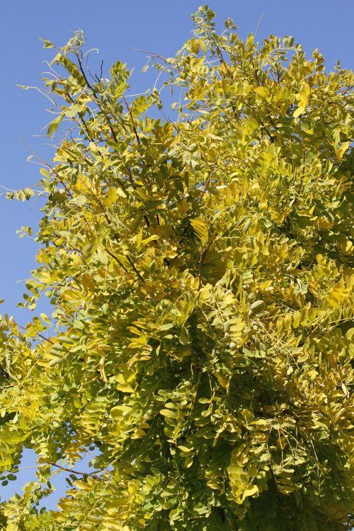 honey locust gleditsia tree