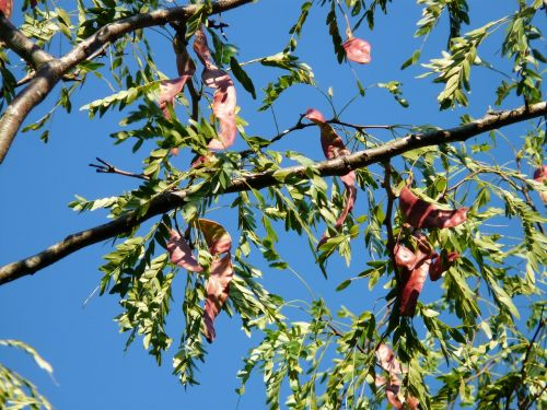honey locust tree fruits