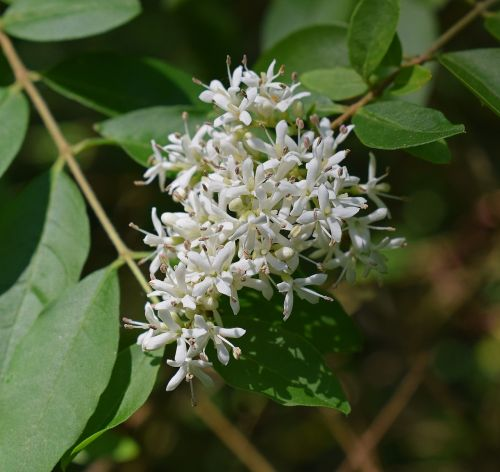 honey locust flowers blossom bloom
