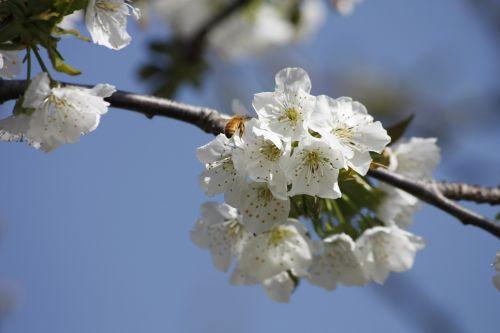 honeybee cherry blossom