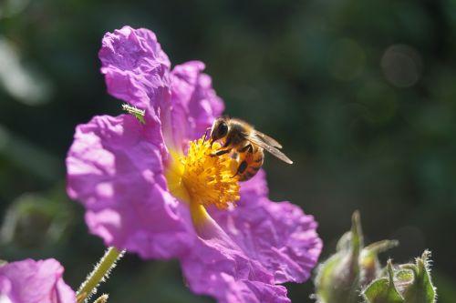 honeybee flower nectar