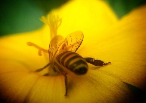 honeybee mobile lens