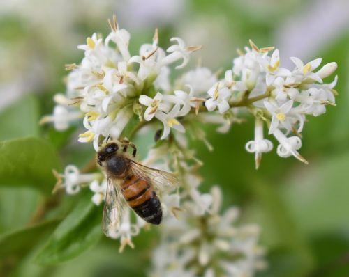 honeybee bee flower