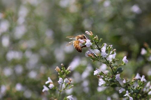 honeybee  bee  insect