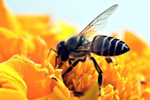 honeybee  apis  pollination