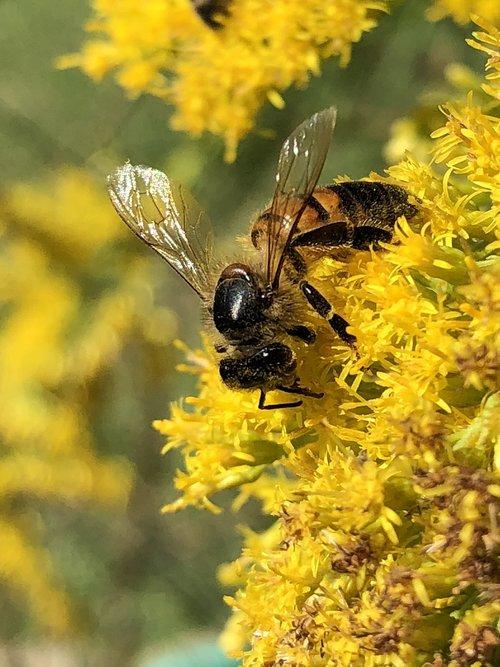 honeybee  goldenrod  nectar