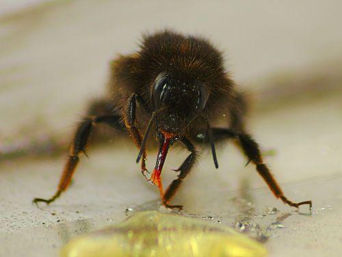 honeybee macro honey