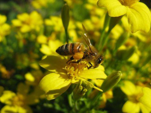honeybee apis mellifera yellow