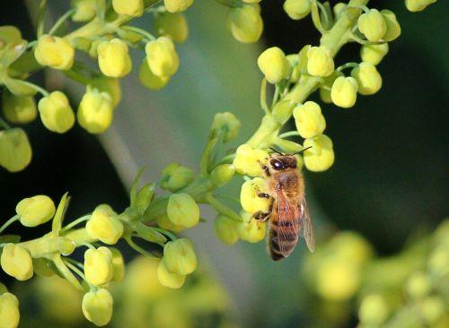 honeybee mahonia flowers pollinate