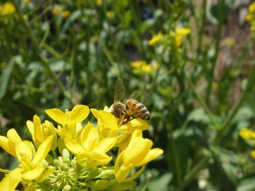 honeybee bee rape blossoms