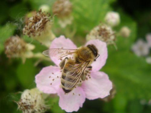 honeybee pollinator insect