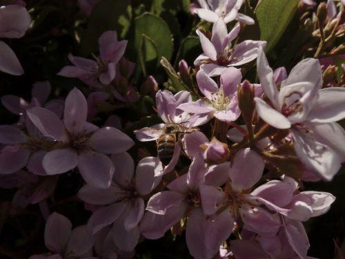 Honeybee And Pink Flowers