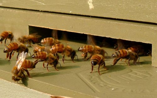 honeybees insects beehive