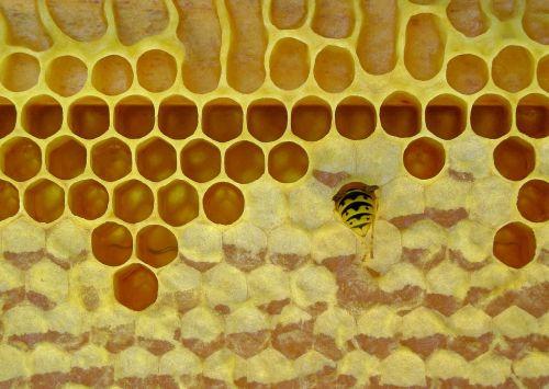honeycomb bee beeswax