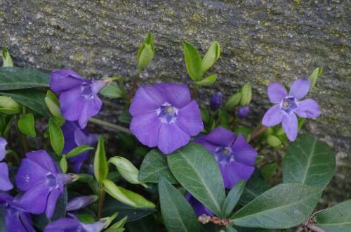 honeysuckle purple flower