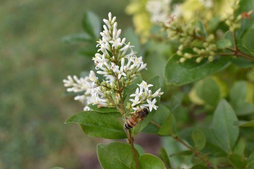 honeysuckle honeybee bee