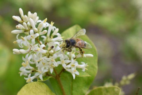 honeysuckle bee honeybee