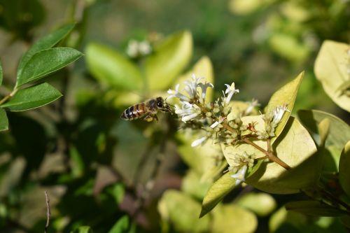 honeysuckle bee pollen