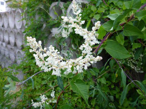 honeysuckle blossom bloom