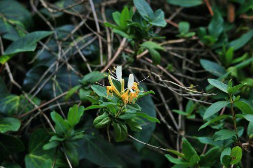 Honeysuckle Creeper Flowering