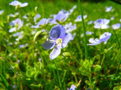 honorary award flower veronica filiformis