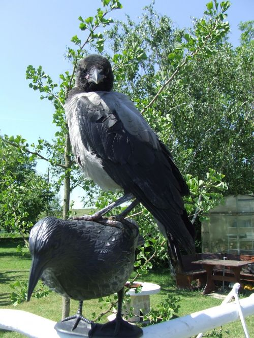 hooded crow bird the crow crows