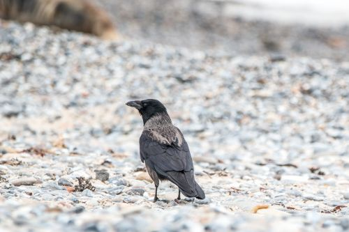 hooded crow bird raven bird