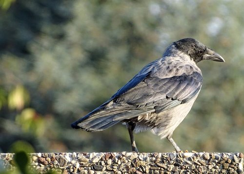 hooded crow  carrion crow  crow