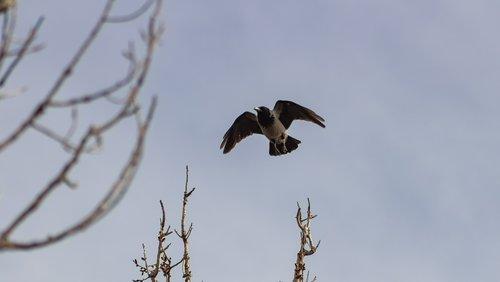 hooded crow  crow  bird