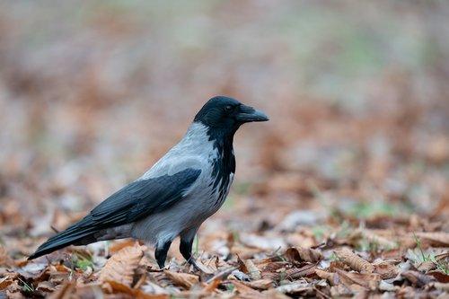 hooded crow  corvus cornix  bird