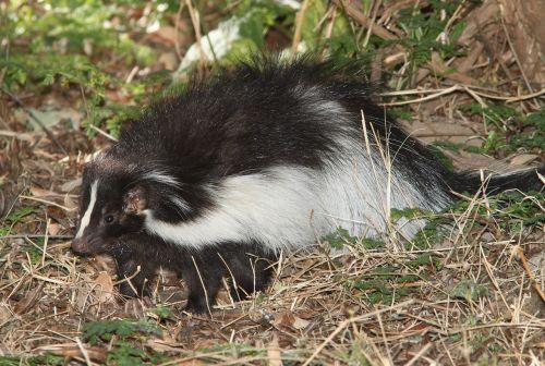 hooded skunk wildlife portrait