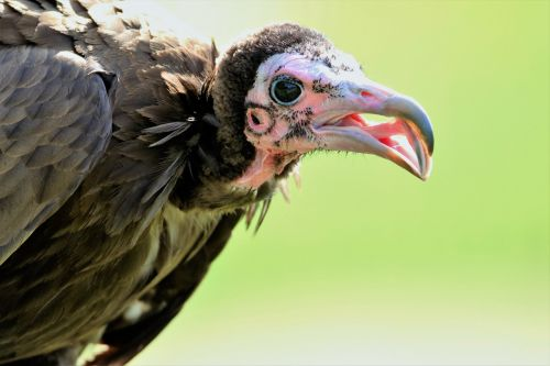 hooded vulture vulture hooded