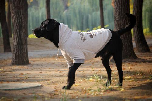 hoodie yuan dynasty ruins park labrador