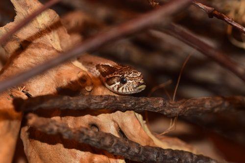 hooknose natter snake slightly toxic